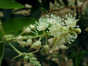 Croton sp.