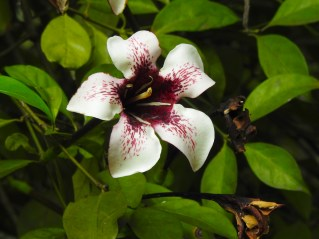Rothamannia longiflora