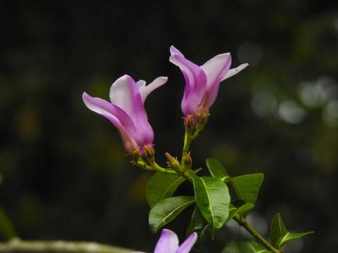 Cryotistegia grandiflora