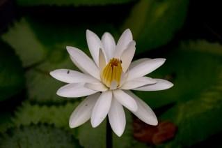 003 - Nymphaea lotus