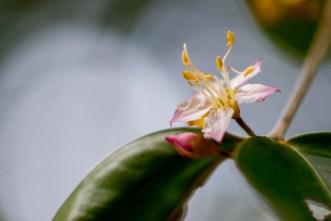 076 - Mouriai guianensis
