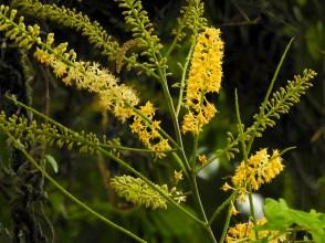 091 - Adenanthera pavonina