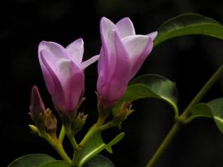097 - Cryptostegia grandiflora