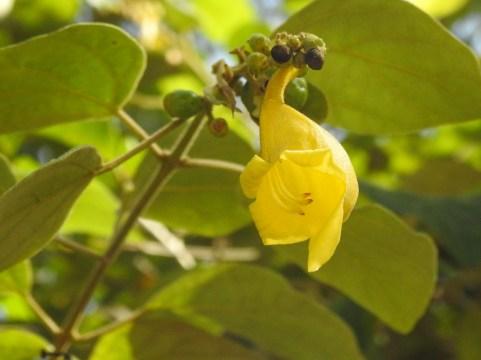 28 - Gmelina asiática