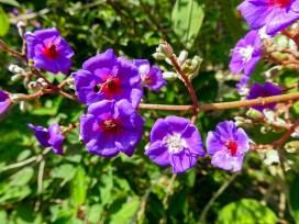43 - Tibouchina heteromala