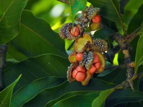 61 - Michelia champaca