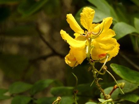 64 - Senna apendiculata