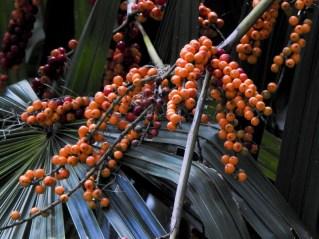 73 - Licuala spinosa