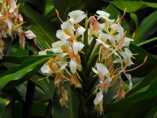 75 - Hedychium flavescens
