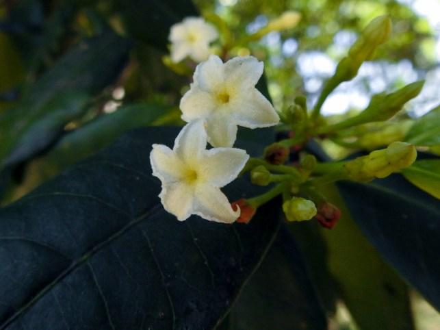 88 - Mascarenhasia arborescens