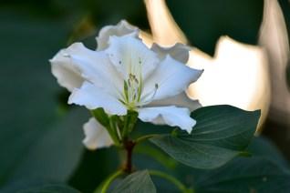 02 - Bahuinia variegata