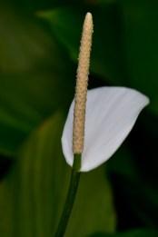 05 - Spathiphyllum cannifolium