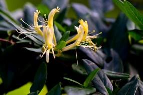 11 - Lonicera japonica
