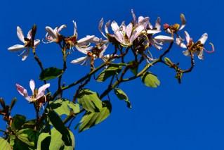 33 - Bahuinia variegata