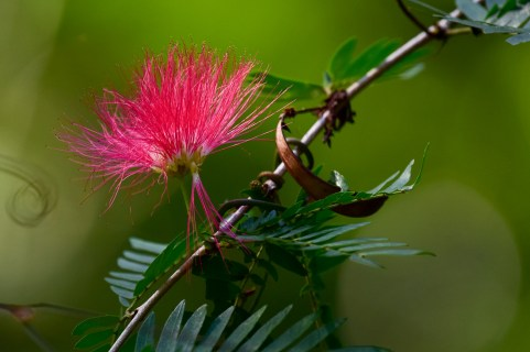 37 - Calliandra harrsii