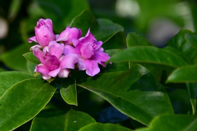 10 - Pereskia grandiflora