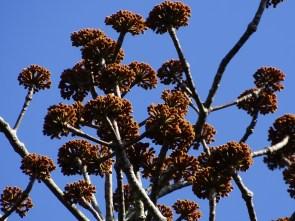 15 - Cavanillesia umbellata (2)