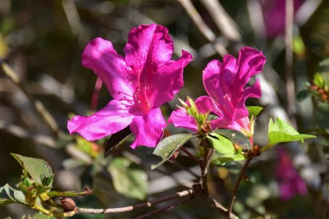 17 - Rhododenron simsii