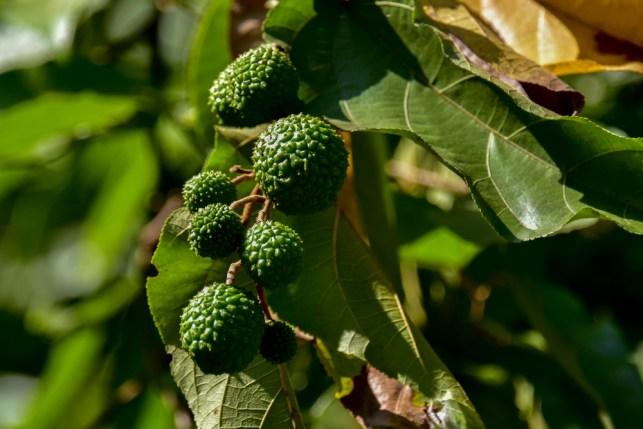 31 - Guazuma ulmifolia