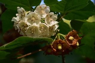 32 - Dombeya tilliaceae