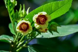 43 - Pavonia alnifolia