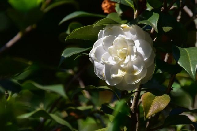 47 - Camellia japonica