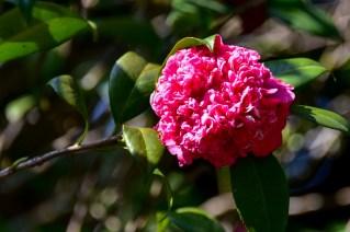 48 - Camellia japonica