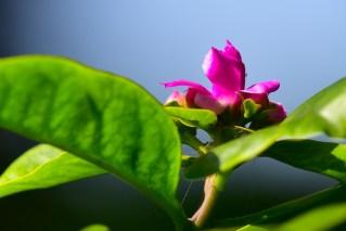 14-pereskia-grandifolia