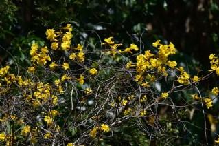 26-handroanthus-crysotrichus