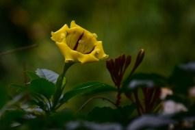 37-solandra-grandiflora