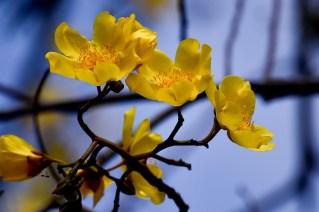 54-cochlospermum-vitifolium