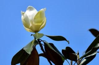 65-magnolia-grandiflora