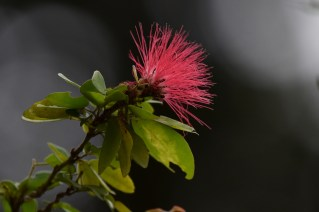02-calliandra-harrisii