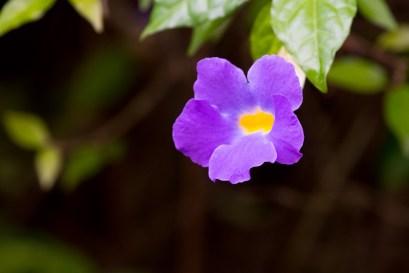 08-thumbergia-erecta