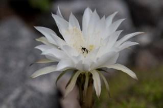 18-echinopsis-calochlosa-2