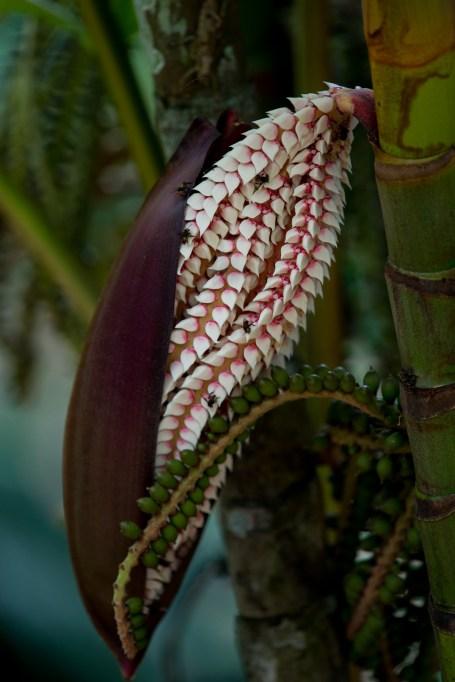 33-pinanga-coronata