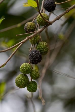 35-guazuma-ulmifolia