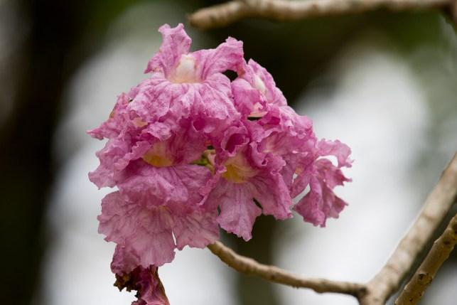 48-tabebuia-rosea