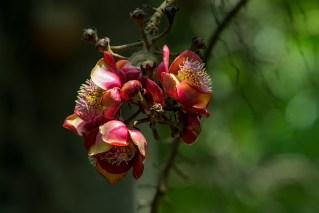 64-couroupita-guianensis