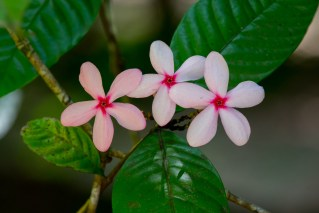 65-kopsia-fruticosa