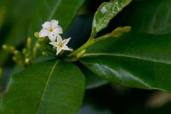70-mascarenhasia-arborescens