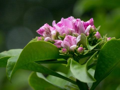 027-pereskia-grandifolia