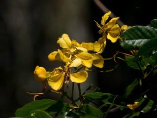 090-senna-appendiculata