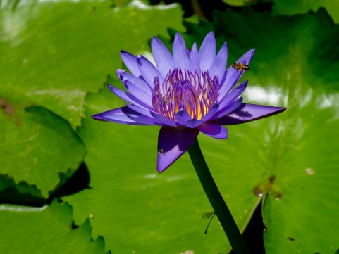 096-nymphaea-capensis