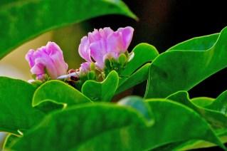 12-pereskia-grandiflora