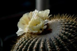 16-cactus-flores-amarelas
