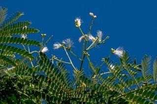 27-arvore-muito-alta-com-flores-brancas