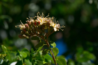 34-hymenea-courbaril