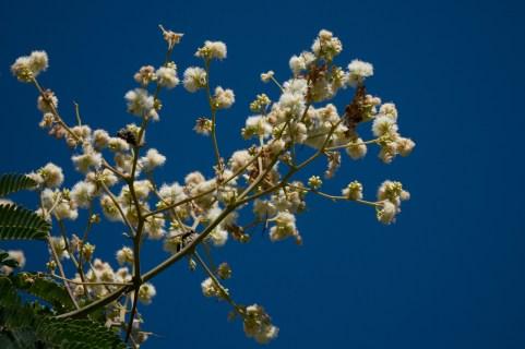 48-mimosa-bimucronata