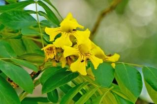 63-markhamia-obtusifolia